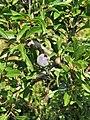 Prunus spinosa. Prunal.jpg
