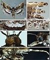 Prymnotomis cecidicola (10.3897-zoologia.36.e34604) Figures 2–8.jpg