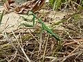 Pseudomantis albofimbriata (5458187586).jpg