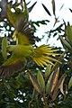 Psittacula krameri -Whitefield, Bangalore, India -flying-8.jpg