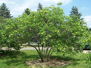 Ptelea trifoliata - Multi-trunk tree form — Ptelea trifoliata - Common hoptree.