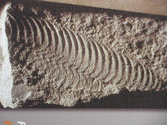 Pteridinium - Fossil of the Onegia nenoxa (P. nenoxa) from Russia.
