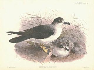 Juan Fernández petrel species of bird