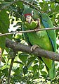 Puerto Rican Parrot eating fruit (5840556490).jpg