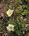 Pulsatilla alpina ssp. alba - Komen (Smrekovec).jpg