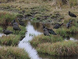 Puna ibis - Image: Puna Ibis RWD