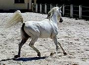 Pur sang arabe du haras Kabyuks près de Choumen. Créé par les Turcs pour les besoins de l'armée, ce haras élevait 1300 chevaux par an
