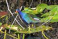 Purple Gallinule - Porphyrio martinicus, Everglades National Park, Homestead, Florida - 16967604070.jpg