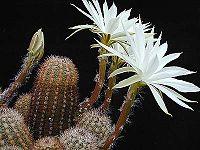 Pygmaeocereus bylesianus1MW.jpg