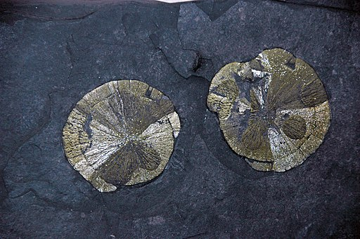 Pyrite-marcasite concretions in carbonaceous shale (Pennsylvanian; coal mine in Randolph County, Illinois, USA) 2 (18587429873)