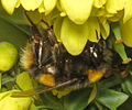 QuBuff-tailed Bumblebee (Bombus terrestris) visiting the Mahonia flowers.jpg