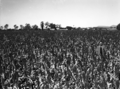 Queensland State Archives 1679 Plainsman or Caprock Grain Sorghum Warrill View Harrisville 1951.png