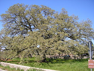 Quercus macrolepis - Example of Q. macrolepis at Tricase, Lecce