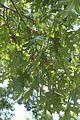 Quercus coccinea (24141477685).jpg