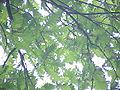 Quercus frainetto0.jpg