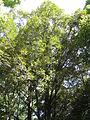 Quercus gilva3.jpg