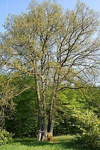 Quercus petraea JPG2a
