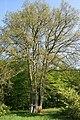 Quercus petraea JPG2a.jpg