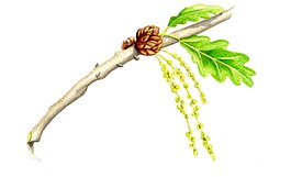 Quercus pubescens flowers illustration.jpg
