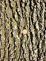 Quercus pubescens sl33.jpg