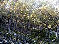 Quercus pyrenaica Pedriza2 Autumn SierraMadrona.jpg