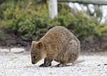 Quokka at rottnest (cropped).jpg
