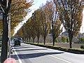 R254ケヤキ並木の紅葉 - panoramio.jpg
