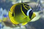 Racoon butterflyfish, Baltimore Aquarium.jpg