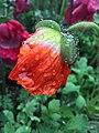 Rain Flower (110258213).jpeg