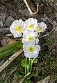 Ranunculus lyallii in Arthur's Pass NP 11.jpg