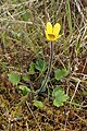 Ranunculus multiscapus kz05.jpg