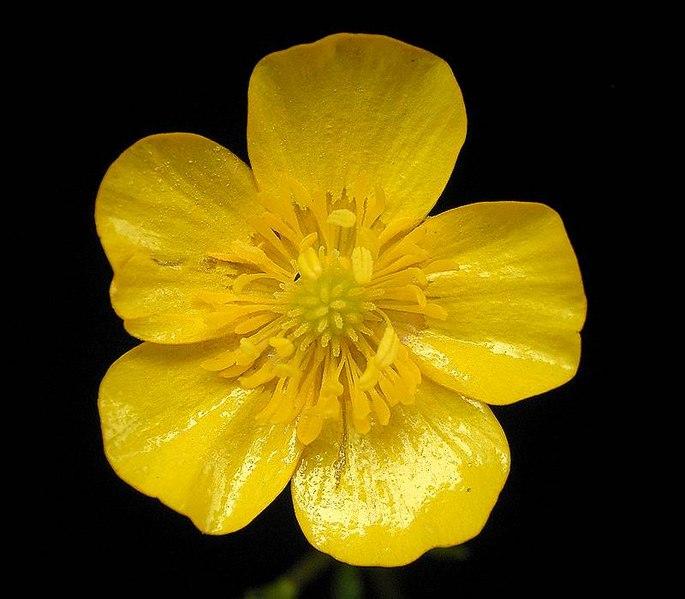 File:Ranunculus repens 05 ies.jpg