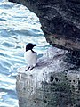 Razorbill on Fowl Craig, Papa Westray - geograph.org.uk - 176048.jpg