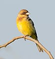 Re-headed Bunting (8264079956).jpg