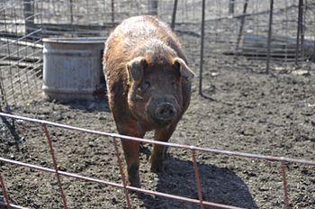 A mature Red Wattle Hog boar (48 inches tall a...