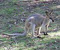 Red-Necked Wallaby Full.JPG