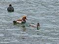 Red-crested Pochard (Netta rufina) (44487712730).jpg
