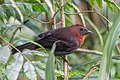 Red-throated Ant-Tanager -45 100- (35973957032).jpg