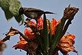Red-vented Bulbul (Pycnonotus cafer) feeding on Spathodea campanulata W IMG 5753.jpg