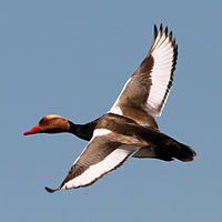 Red Crested Pochard (Netta rufina) (16).jpg