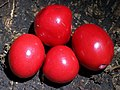 Red Fruited Ebony RBG Sydney.jpg