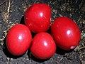 Red Fruited Ebony RBG Sydney.jpg
