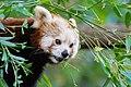 Red Panda (36790365324).jpg