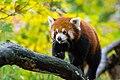 Red Panda (37832769664).jpg
