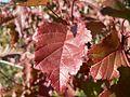 Red autumn leaves (1).jpg