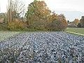 Red cabbage field in Saconnex d'Arve - panoramio.jpg