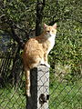 Red cat sitting on a pillar.JPG