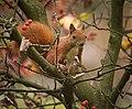 Red squirrel (explored) - Flickr - hedera.baltica (1).jpg