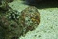 Reef stonefish, Baltimore Aquarium.jpg