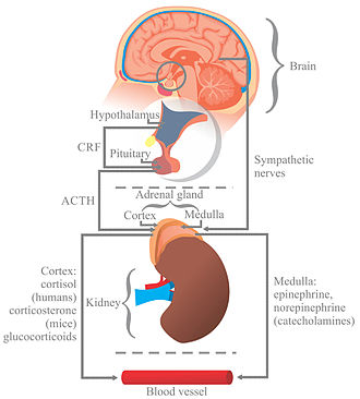 Sistema Nervioso Vegetativo p 1380 7931 likewise Central Nervous System The Autonomic Nervous System as well Pain3 moreover 135380 Pediatric Cardiopulmonary Arrest And Post Arrest Care besides Sympathoadrenal system. on cns diagram